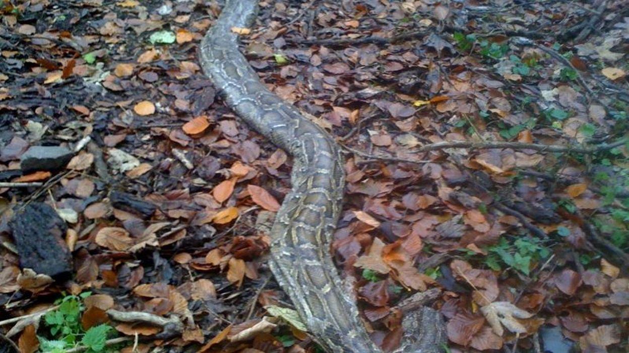 Montigny le tilleul un python dans les bois de landelies - Un matin dans les bois ...