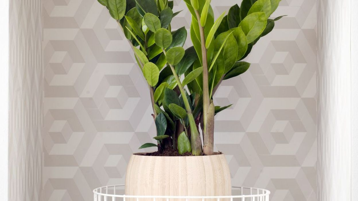plante d 39 int rieur du mois le zamioculcas. Black Bedroom Furniture Sets. Home Design Ideas