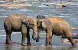 Sri Lanka : L'éléphant, animal vénéré en Asie...