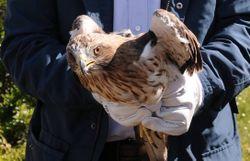 Deux aigles saisis en Belgique retrouvent la liberté en Espagne