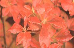 Un arbuste de petite taille qui offre six mois de plaisir :