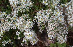 Une myriade de petites fleurs blanches sur de frêles tiges