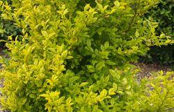 Son feuillage est persistant, sa couleur jaune éclaire le parterre, il grimpe à 1,80 m de hauteur...