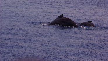Baleine à bosse avec son petit.