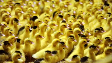 Grippe aviaire: 1,5 million de volailles abattues en Europe