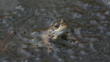 La grenouille rousse que l'on peut trouver dans la réserve naturelle