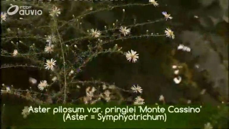 francis-peeters-aster-pilosum-var-pringlei-monte-cassino