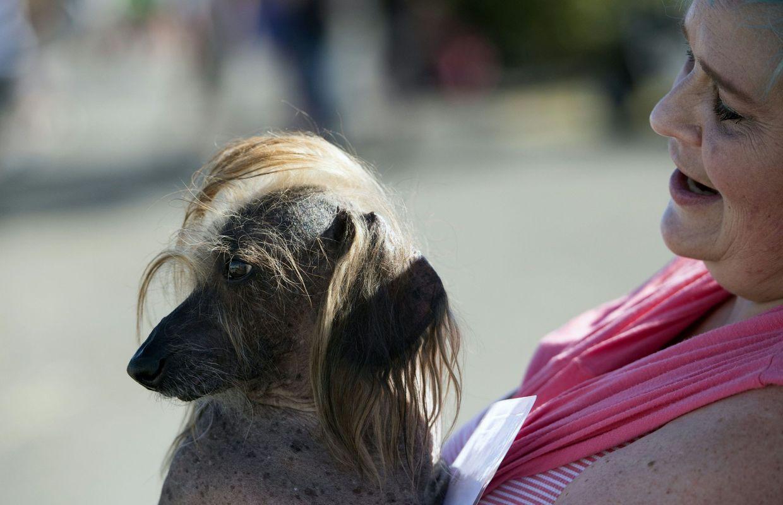 Le chien le plus laid du monde s 39 appelle sweepie rambo et for Coupe de cheveux donald trump