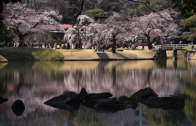Japon les cerisiers en fleurs po tisent les parcs de tokyo - Parc de sceaux cerisiers en fleurs 2017 ...