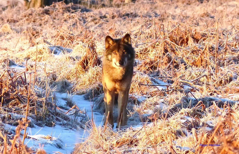 De superbes photos d'un loup prises dans les Hautes-Fagnes gelées