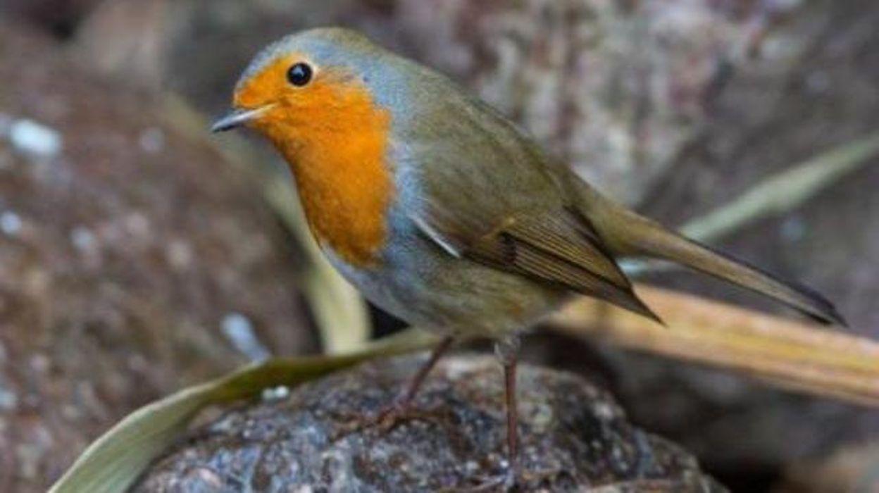 Oiseaux de nos jardins les granivores sont en danger selon natagora - Natagora oiseaux de nos jardins ...