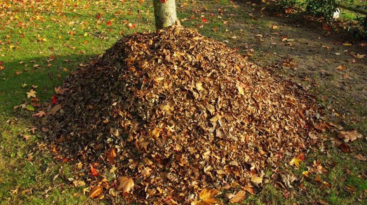 Compost De Feuilles D Érable le terreau de feuilles