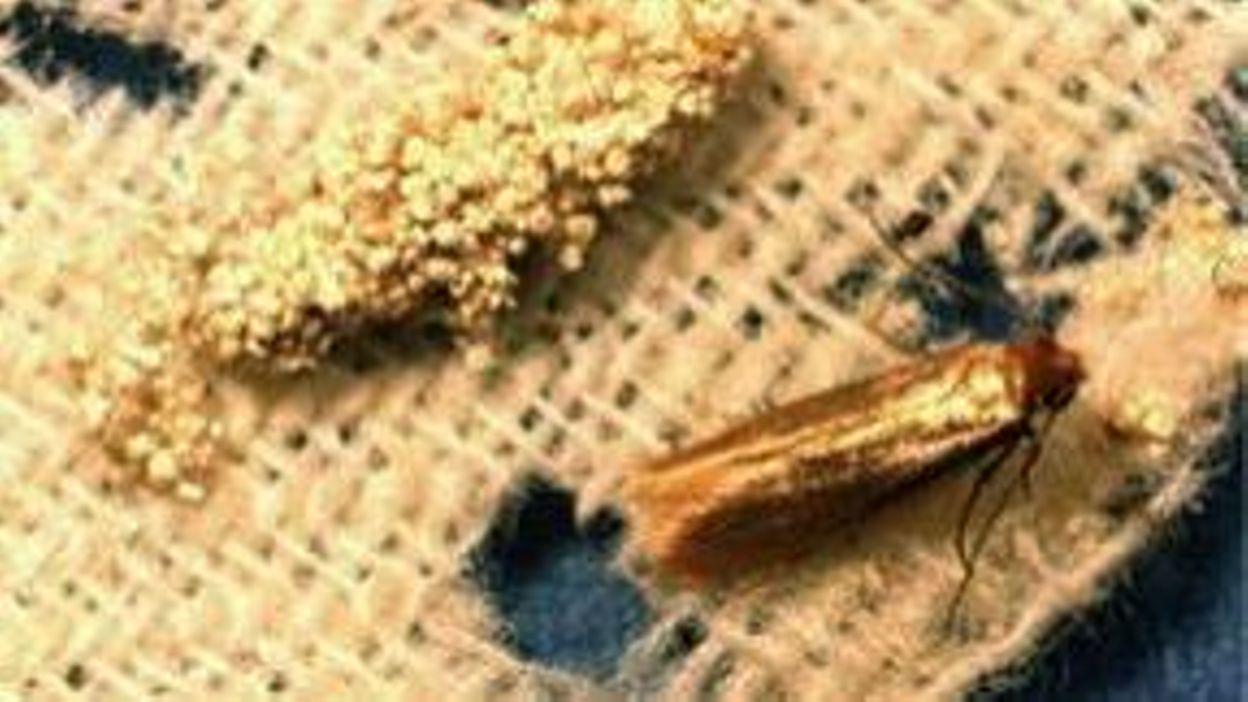 Comment Traiter Les Mites Dans Les Armoires nature : les anti-mites