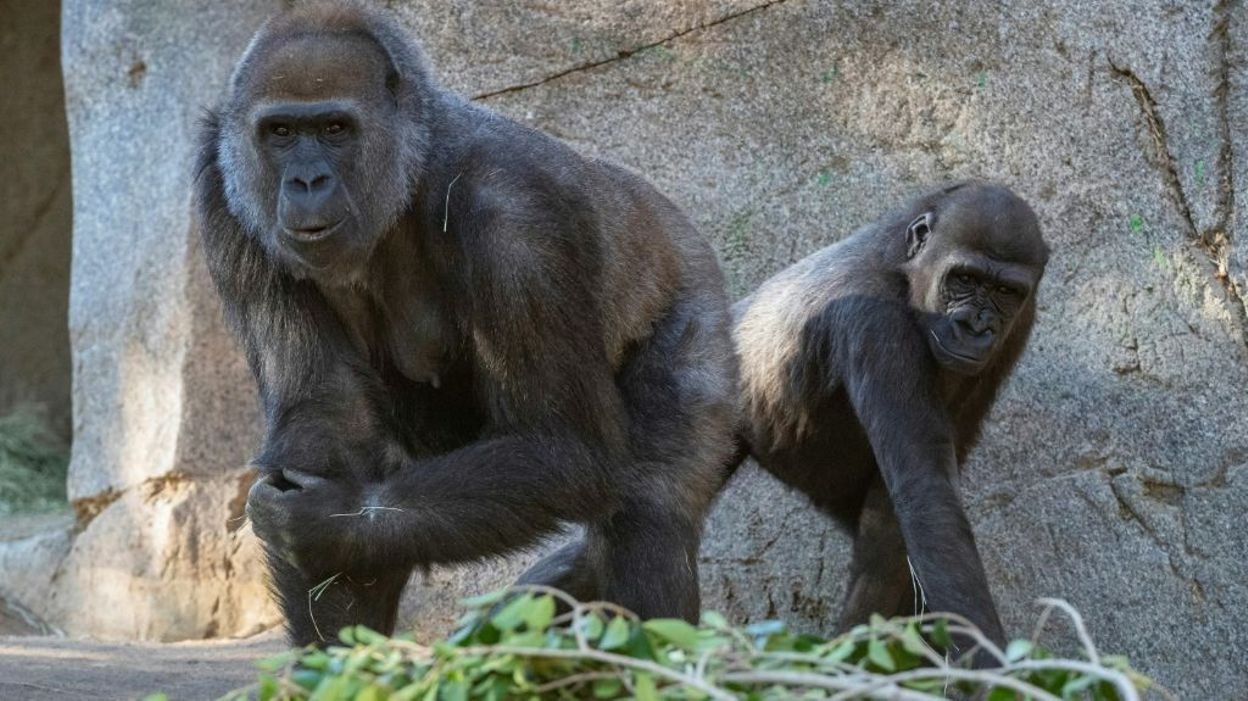 Coronavirus et animaux : des singes du zoo de San Diego ont été vaccinés - RTBF