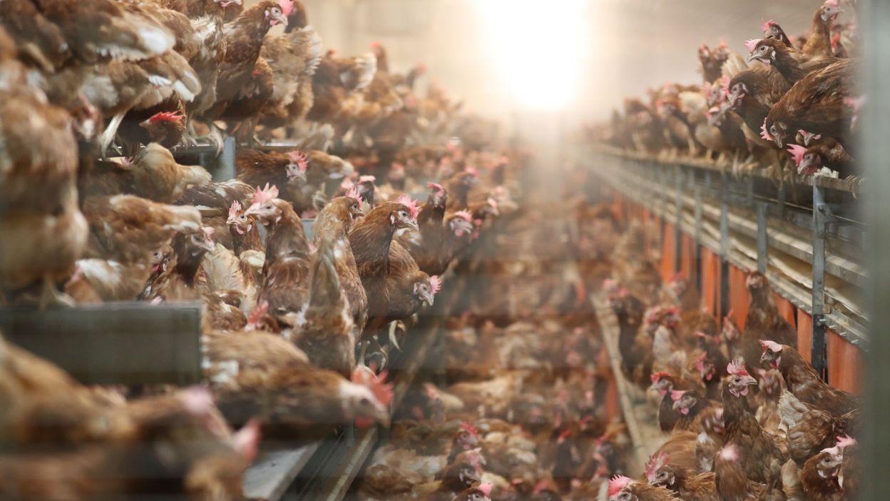 """Greenpeace: Le porc et la volaille belges proviennent à 70% de """"méga-fermes"""""""