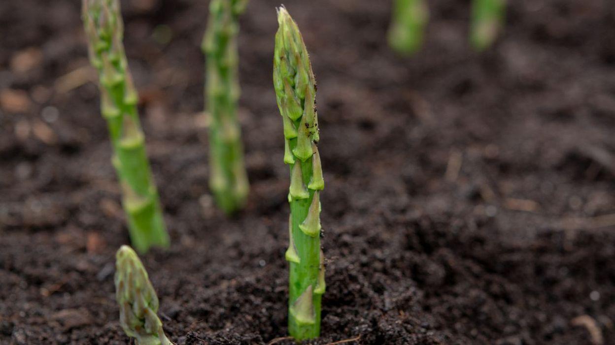 Comment Planter Des Asperges plantation d'asperges au potager