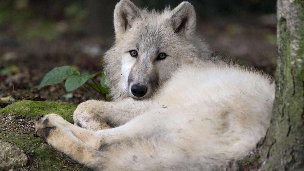 938a27022c3 Le loup est entré en Wallonie  comment expliquer ce retour