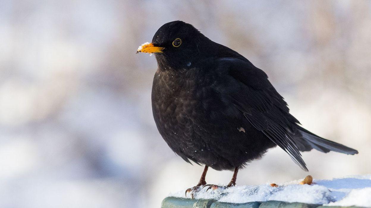 Les Oiseaux Plus Nombreux Dans Les Jardins Cette Annee A L Exception Du Merle Noir