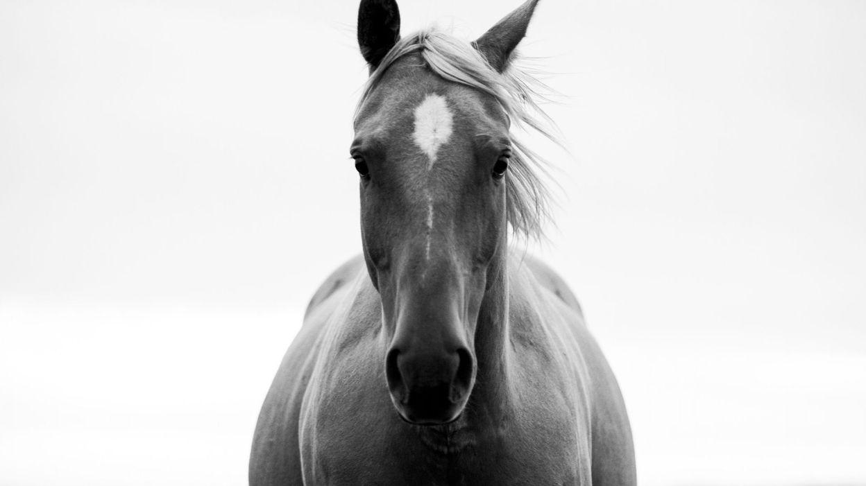 C'est l'histoire d'un animal : Les chevaux calculateurs, un mystère jamais éclairci