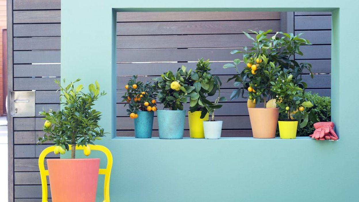 Plante d 39 int rieur du mois le calamondin for Plante 6 mois
