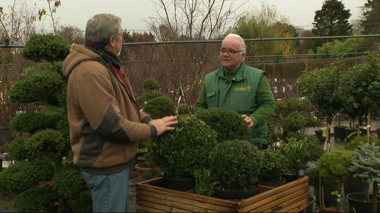 Planter Une Bordure De Buis une alternative au buis : l'ilex crenata