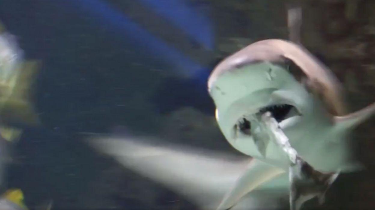 Un requin dévore un de ses congénères sous les yeux des visiteurs du Zoo d'Anvers