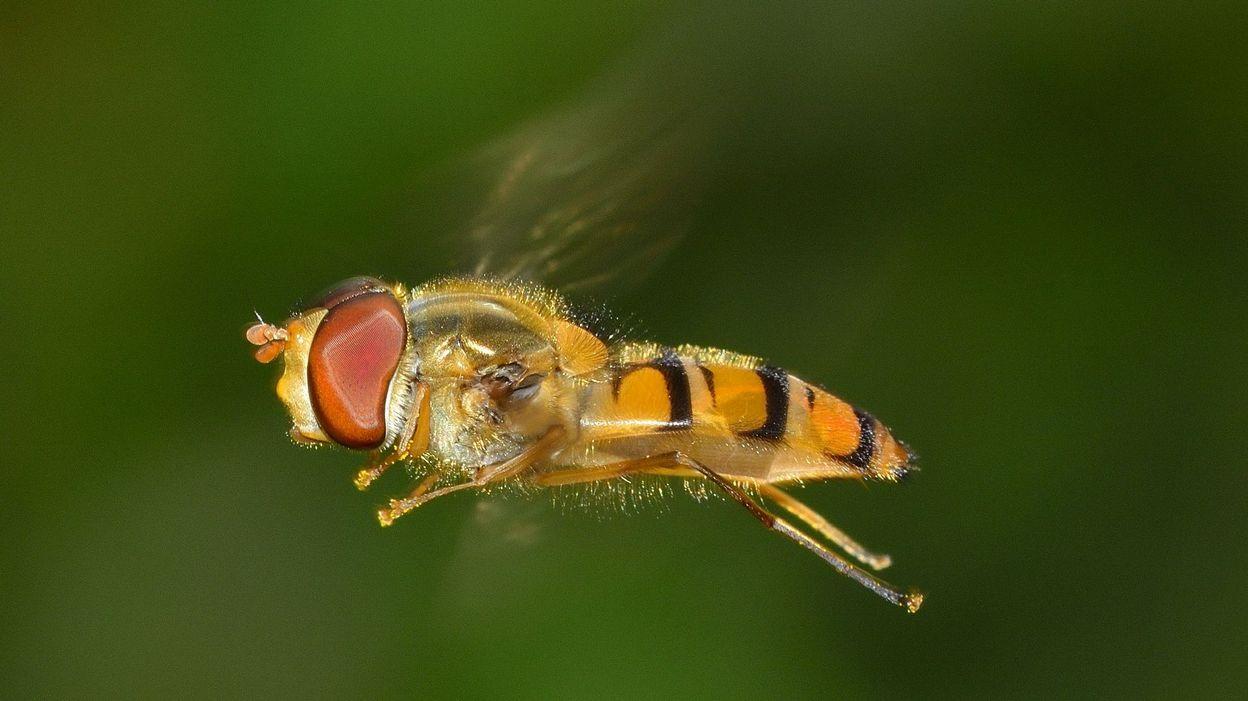 Les populations d'insectes volants ont dangereusement décliné ces trente dernières années