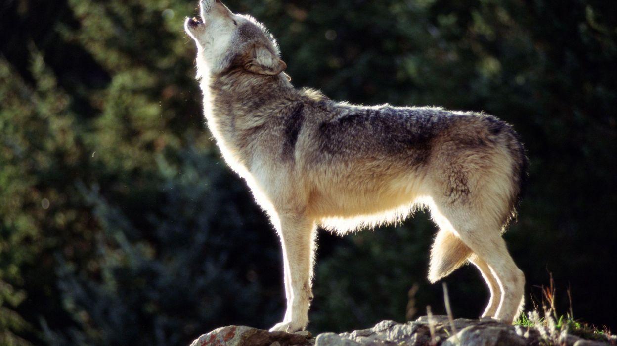 """""""Protégez vos animaux des loups"""", avertit une association qui craint un pic d'attaques"""