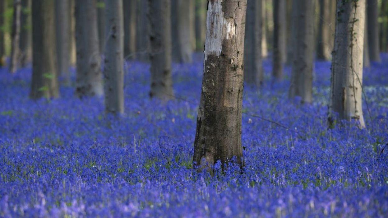 """Fleur De Sous Bois Bleue aux portes de bruxelles, une """"forêt enchantée"""" victime de"""