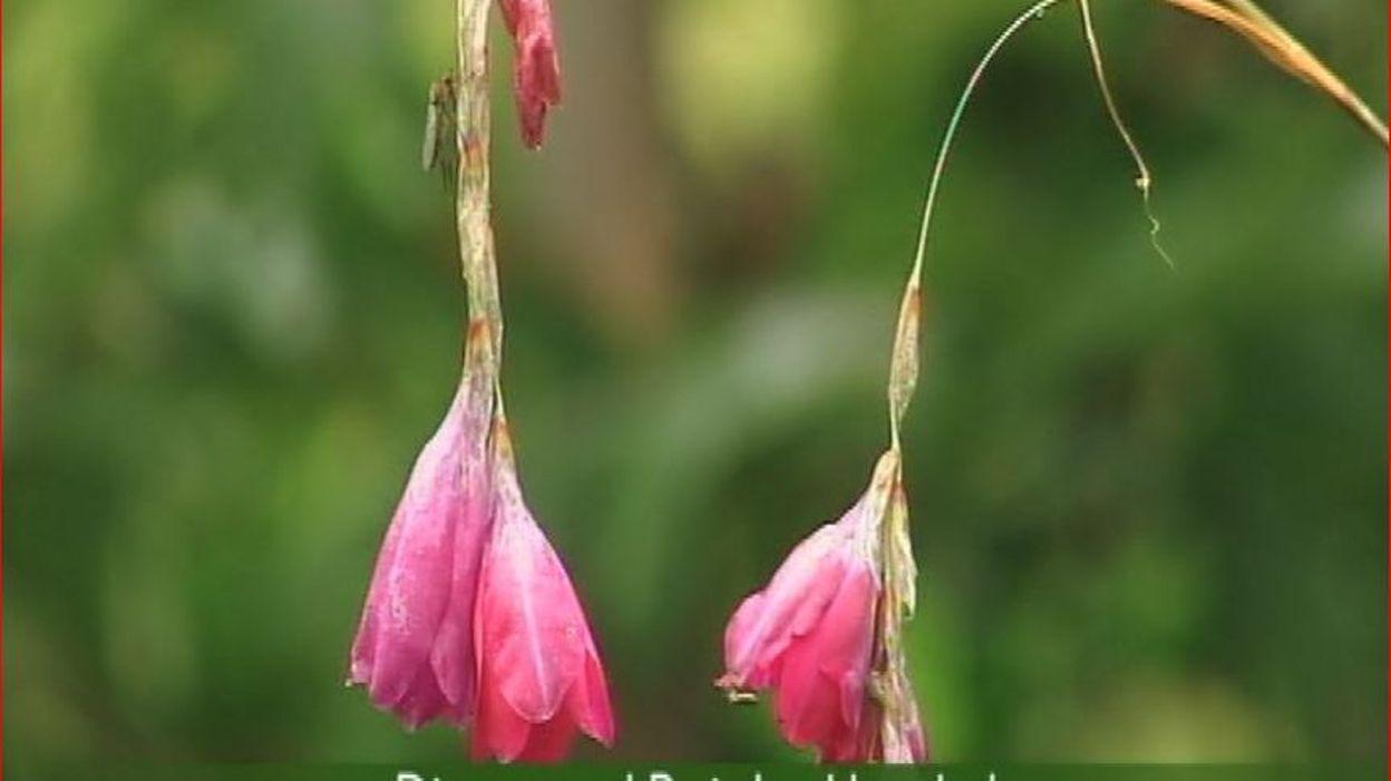 Francis peeters dierama pulcherrimum 39 painted lady 39 la canne p che des anges rtbf - Canne a peche des anges ...