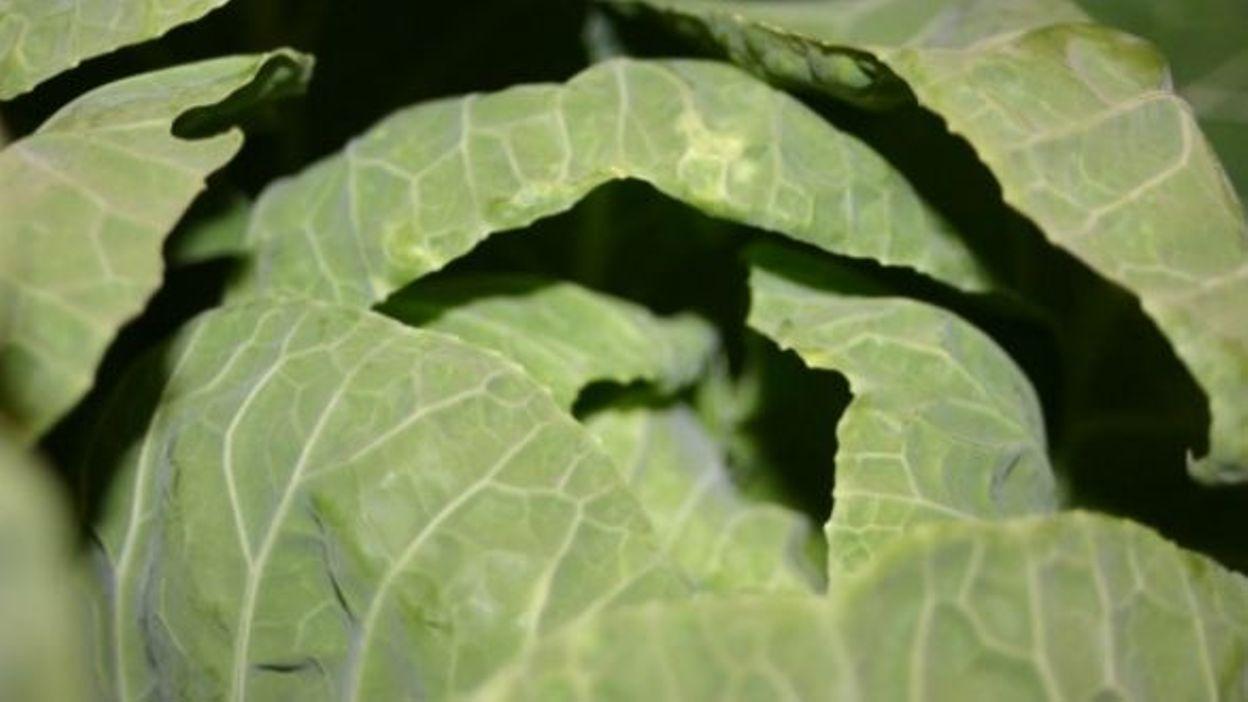 savez-vous planter les choux de bruxelles à la mode écologique