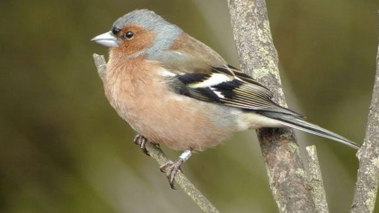 L 39 aube des oiseaux le dimanche 1 mai partout en for Oiseaux des jardins belgique