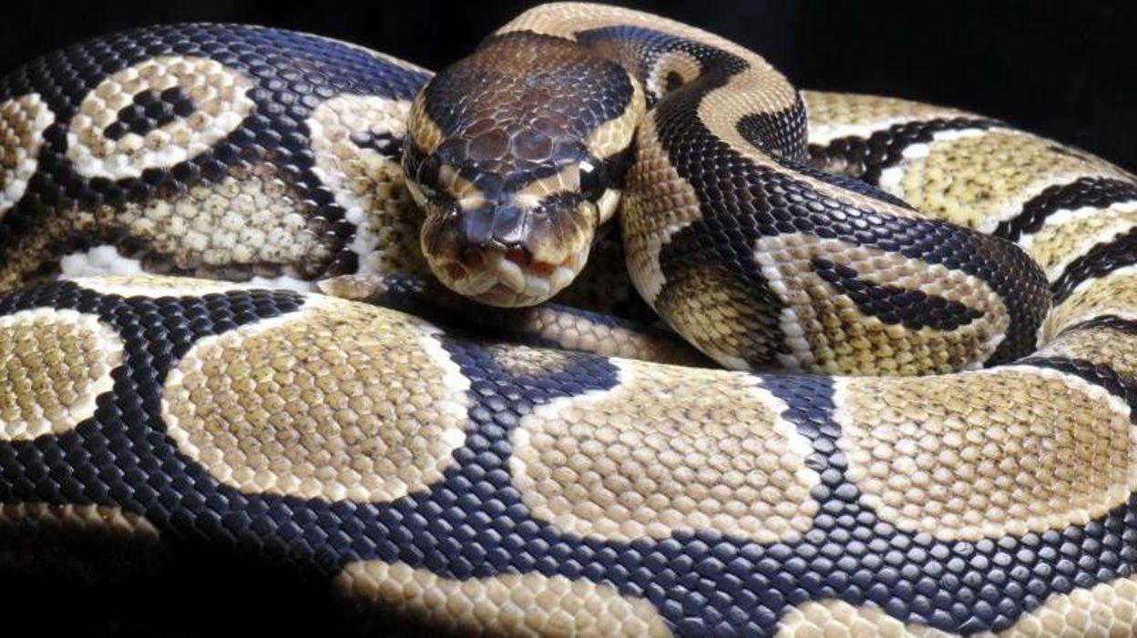 c 39 est tellement facile d 39 acheter un serpent. Black Bedroom Furniture Sets. Home Design Ideas