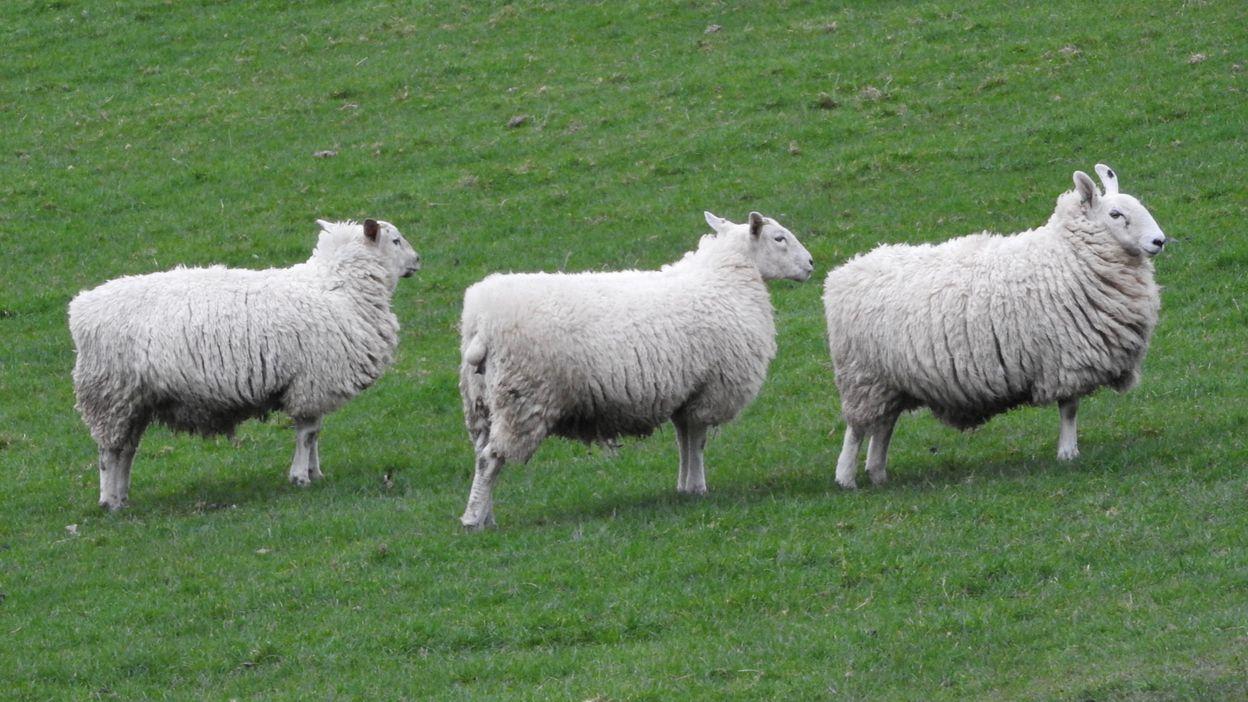 compter les moutons pour s 39 endormir pas tr s efficace selon l 39 universit d 39 oxford. Black Bedroom Furniture Sets. Home Design Ideas