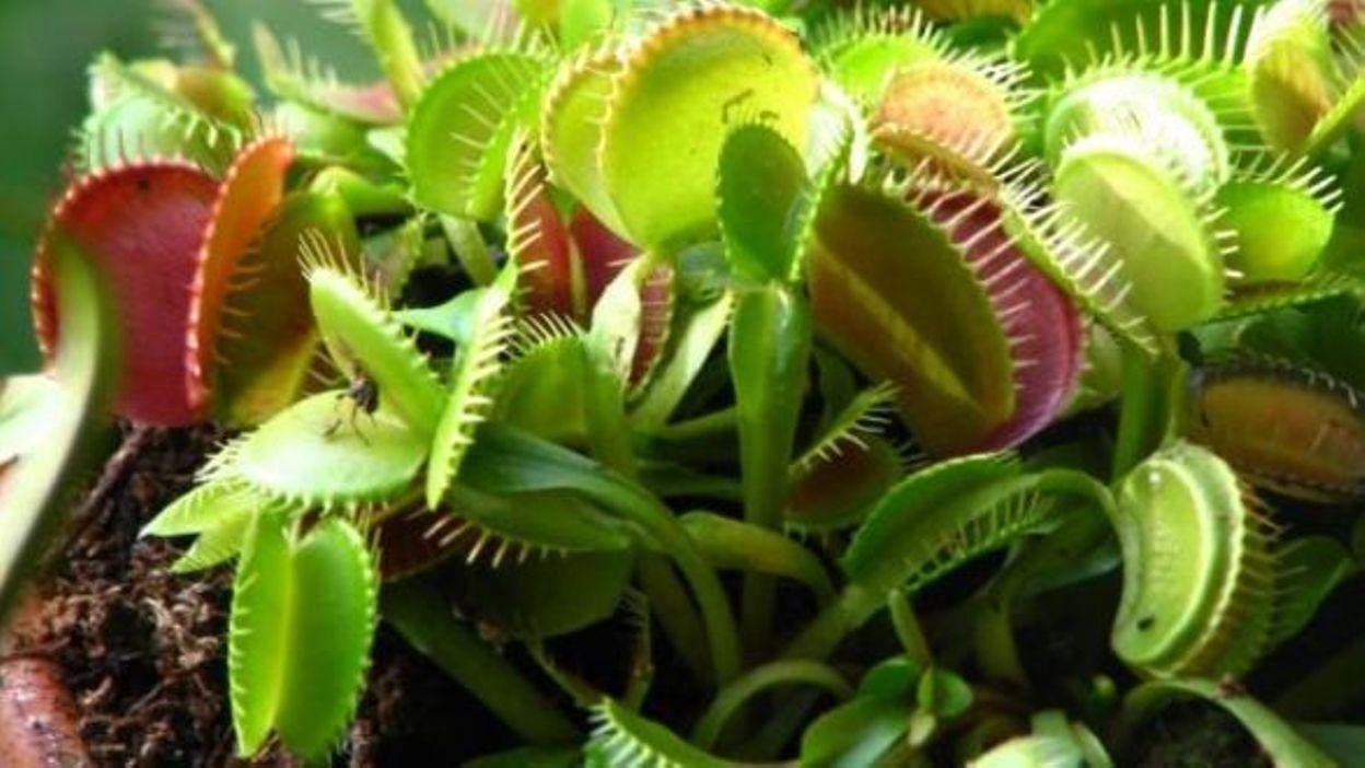 plante carnivore bruxelles
