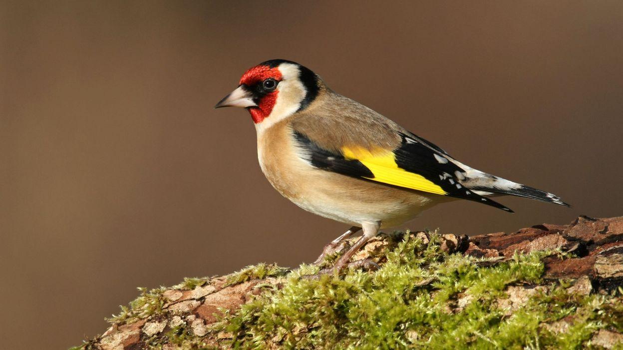 Grosse op ration de recensement des oiseaux en wallonie for Oiseaux des jardins belgique