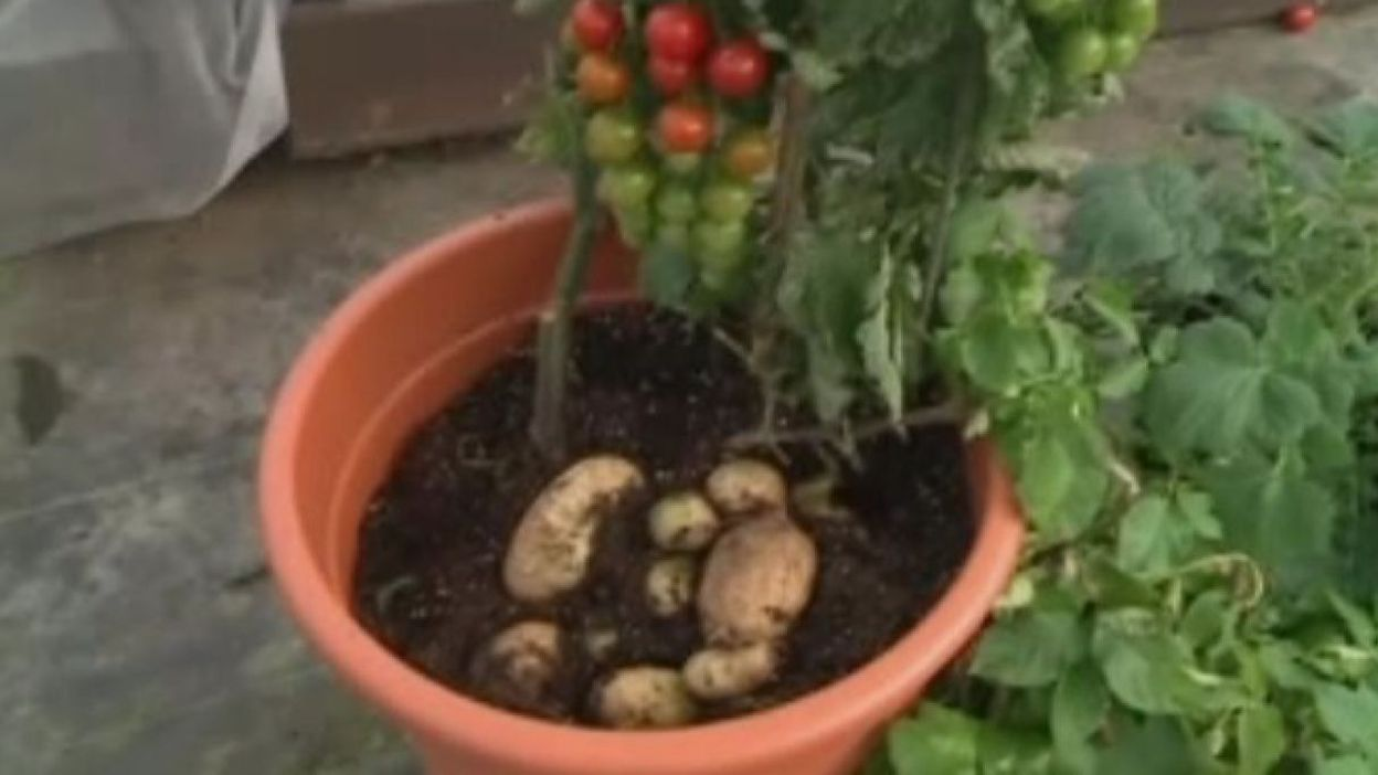 Tomtato la plante qui produit en m me temps des tomates et des patates - Quand planter les patates ...