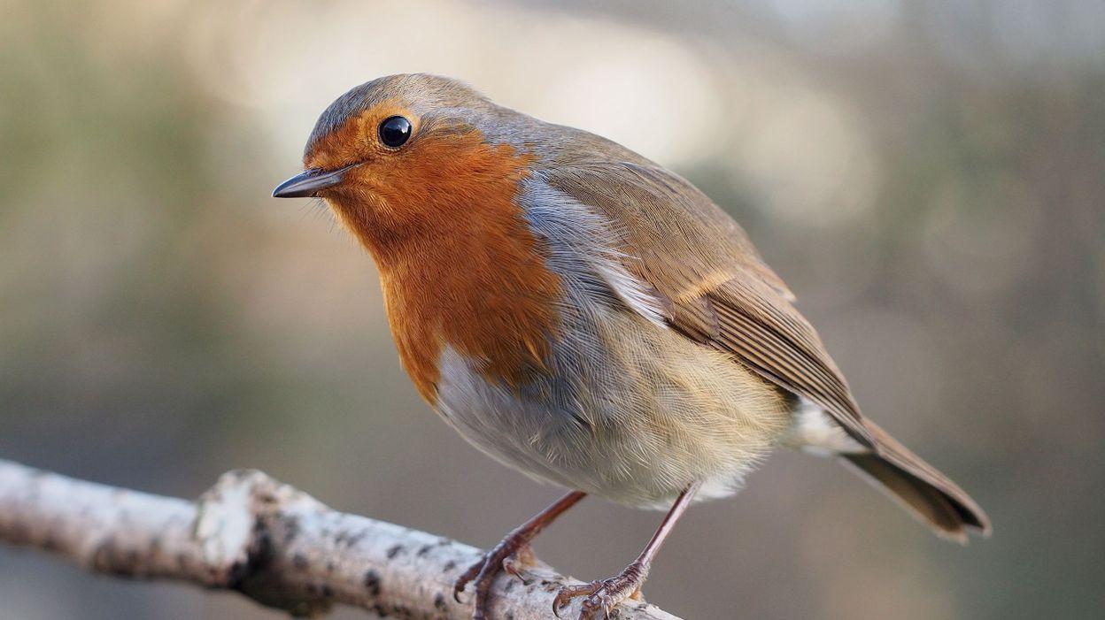Pourquoi y a t il moins d 39 oiseaux dans nos jardins cet for Oiseaux des jardins belgique