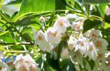 Une multitudes de grappes blanches : Styrax japonicus 'Fargesii'