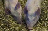 Cochons maltraités: le personnel de l'abattoir de Tielt dans l'incertitude