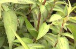 Une aromatique vietnamienne : persicaria odorata