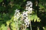 Les fleurs apparaissent au début du printemps et éclairent les zones d'ombre