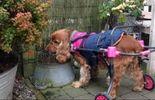 La Presque Star : Hélène Streel, grâce à Roll's Dog, les chiens à mobilité réduite courent toujours