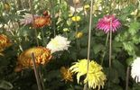 Chrysanthèmes uniflores