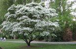 Devinette : j'appartiens à la famille des oliviers mais mes branches semblent couvertes de neige.  Qui suis-je ?