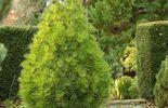 Sciadopitys verticillata 'Richie's Cushion', modèle compact pour petit jardin