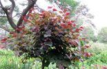 Amour de plante : Cercis canadensis 'Forest Pansy'