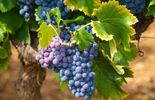 In vino veritas: fraudes dans les vignobles