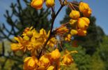 Amour de plante : le berberis julianae