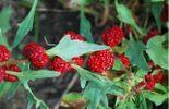 Chenopodium capitatum - épinard fraise